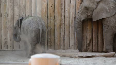 captivity : Baby elephant throwing dirt at the zoo