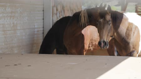 memeli : Horses graze at a beautiful ranch in Utah Stok Video