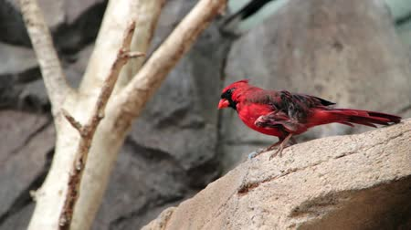 captivity : A beautiful red bird at the zoo