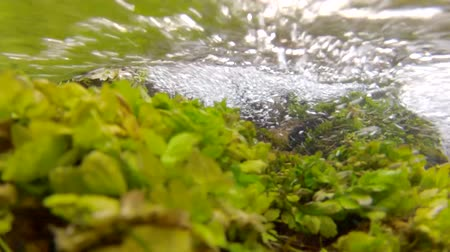 komar : an underwater shot of a ground spring and its vegetation at cascade springs in utah