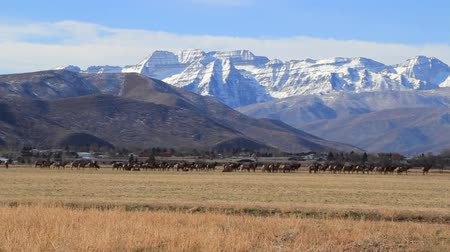 kürk : a giant herd of elk resting in an open field beneath a large snowy mountain range