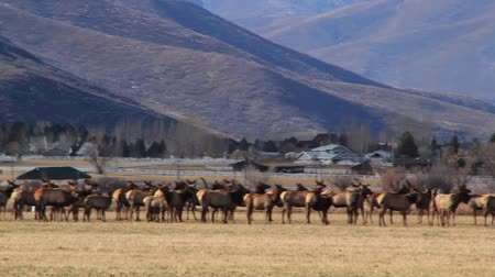 stádo : big herd of elk in fields by town panning shot