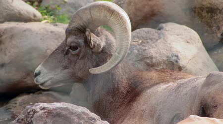 captivity : A large dessert ram Stock Footage