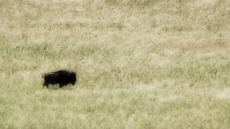 kürk : Buffalo graze in the grassy fields of the midwest