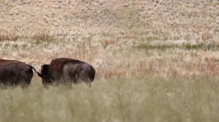 kürk : Buffalo in Yellowstone