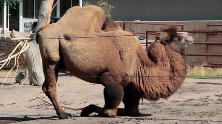 wielbłąd : Camel in Captivity