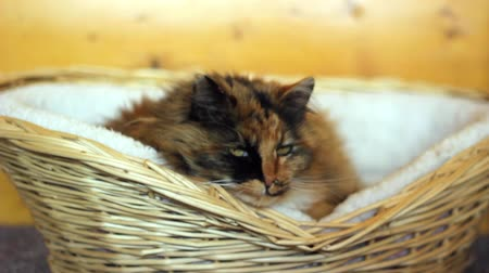ronronar : Cat laying in basket Stock Footage