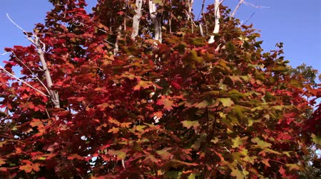 hnízdo : A dolly shot of vibrant red maple leafs during the fall season. Dostupné videozáznamy