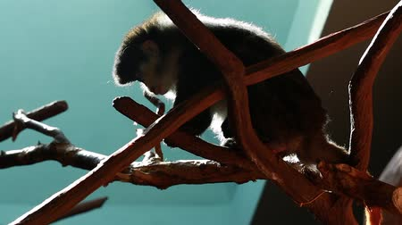 captivity : family of monkeys in a zoo