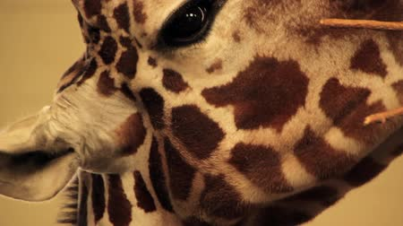 captivity : Closeup of Giraffe Head