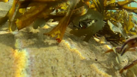 inferior : Crab Hiding in Sea Weed