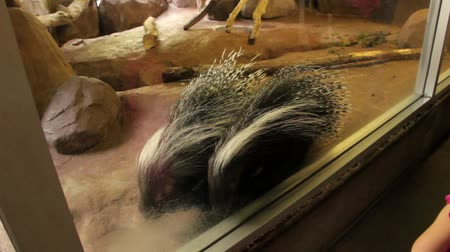 captivity : A little girl watches a large porcupine at the zoo
