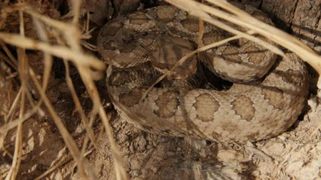 cobra : Great Basin rattlesnake coiled up by a tree