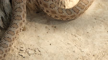 cobra : Great Basin rattlesnake in the desert