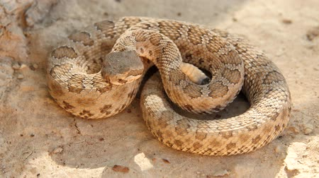 yılan : Great Basin rattlesnake ready to strike