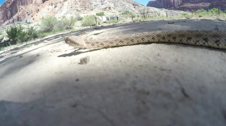 cobra : Great Basin Rattlesnake moving across a vast desert in Utah