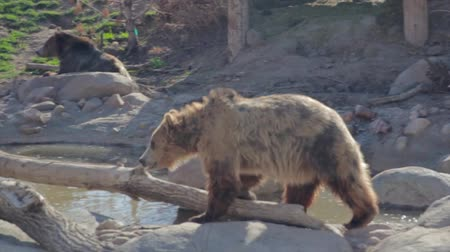 beer : grizzly beren in slow motion bij dierentuin
