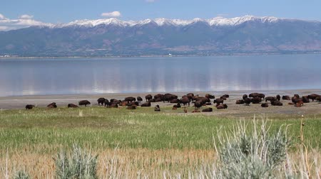 alpes : Large Herd of Buffalo by Mountain Lake Stock Footage