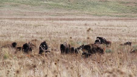 pastar : Large Herd of Buffalo in Tall Grass
