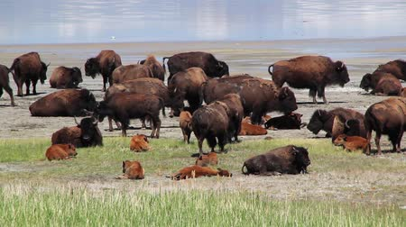 stádo : Large herd of buffalo with calves