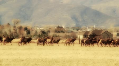 executar : large herd of elk in fields by houses panning shot