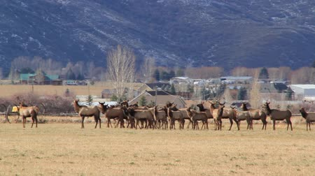 býci : large herd of elk running in a field by houses panning shot