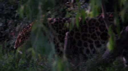 pardus predator : Leopard at zoo slow motion