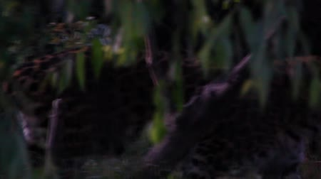 pardus predator : Leopard disappears into jungle slow motion