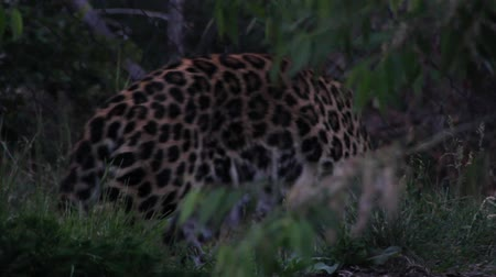 pardus predator : Leopard in Captivity at Zoo Stock Footage
