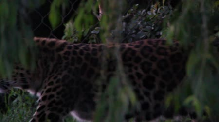 kotki : Leopard in Captivity Slow Motion