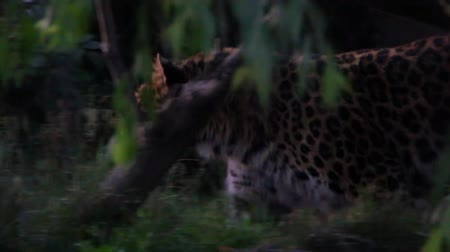 pardus predator : Leopard Walking in Slow Motion