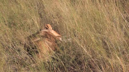 juba : Lion lays down in grass