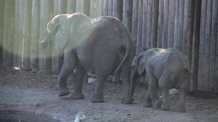 large ears : Mother and Baby Elephant at Zoo