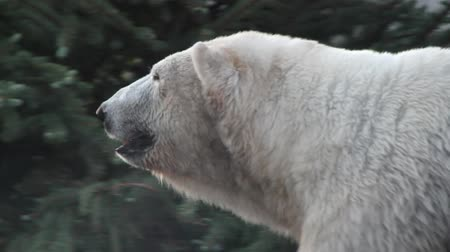 beer : Polar Bear in Gevangenschap Stockvideo
