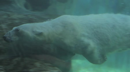 полярный : polar bear swimming in slow motion