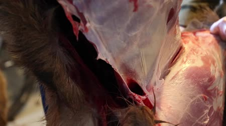 hentes : hunter skins the hide of an elk for meat close up