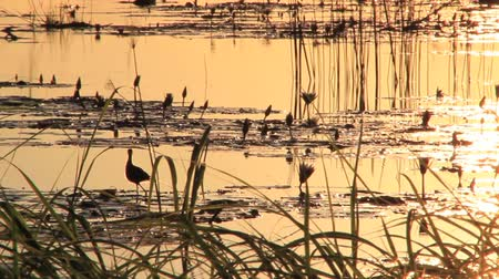memeli : Jacana Bird and sunset
