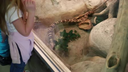 boa constrictor : kids looking at a snake at the zoo Stock Footage