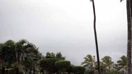 árvores : Palm trees in storm Vídeos