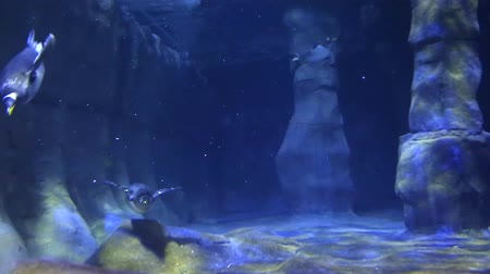 hvězdice : penguins swimming in a large aquarium