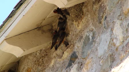 hnízdo : Red headed swallows and their mud nests