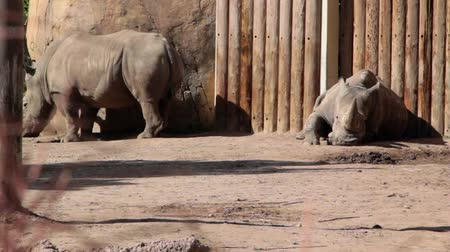 bocinas : Rhinos en cautiverio Archivo de Video
