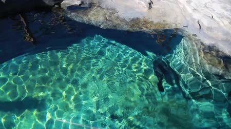captivity : seals swimming in the aquarium in the zoo