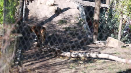captivity : siberian tiger in zoo