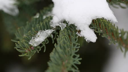ladin : snow on a pine branch Stok Video