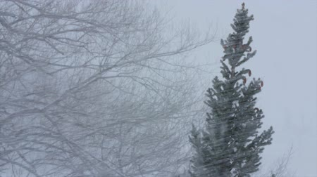 hóvihar : Trees blowing in a major winter blizzard