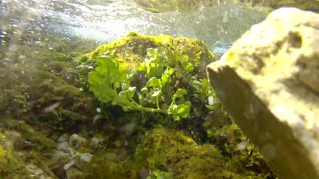 solo : underwater vegetation in clear mountain stream