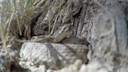 diamantes : Up close shot of a Great Basin Rattlesnake in Utah Stock Footage