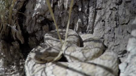 тыкать : Up close shot of Great Basin Rattlesnake in Utah