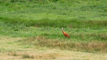 sandhill crane : Wild Crane in Field Stock Footage